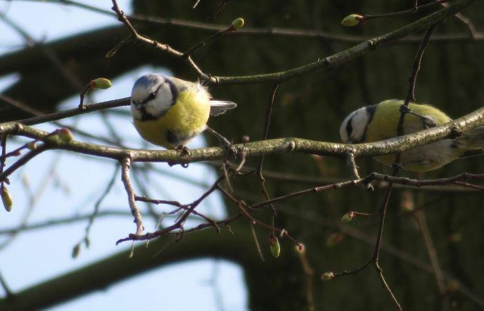 2 junge Blaumeisen auf einem Ast im Frühling