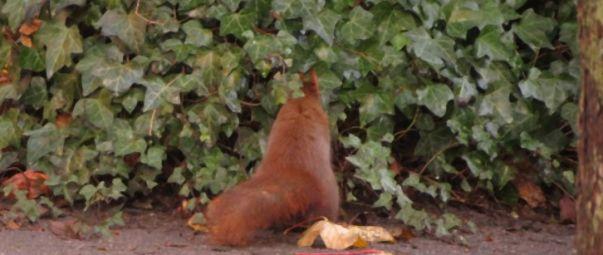 Eichhörnchen sucht Nuss
