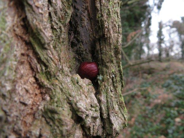 Haselnusskern im Baum