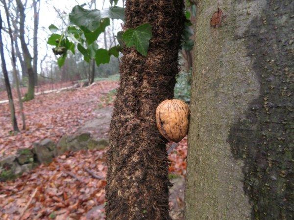 Baum mit Walnuss