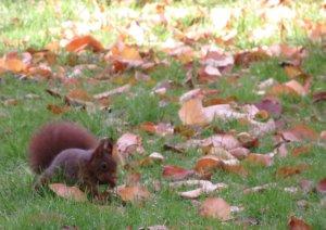 Eichhörnchen versteckt Nuss