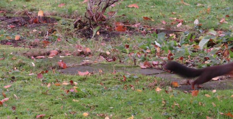 Eichhörnchen huscht aus dem Bild